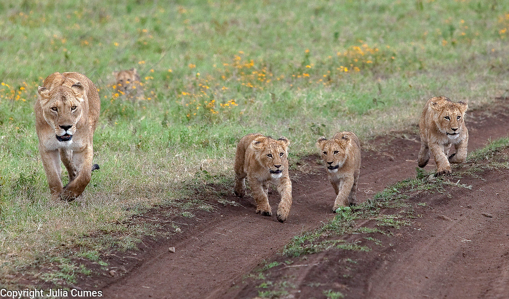 A lionness and her cubs are photographed in the Ngorongoro Crater in Tanzania.