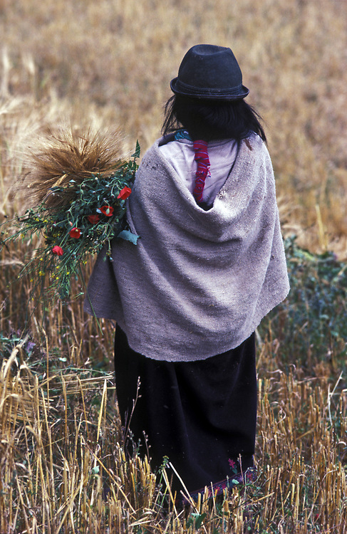 A quechua Indian woman harvest barley and poppies, near Riobamba, Chimborazo Province.