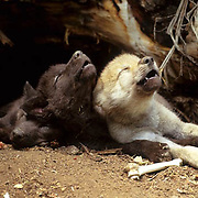 Gray Wolf, (Canis lupus) Pups howling at entrance of den. Early summer. Captive Animal.