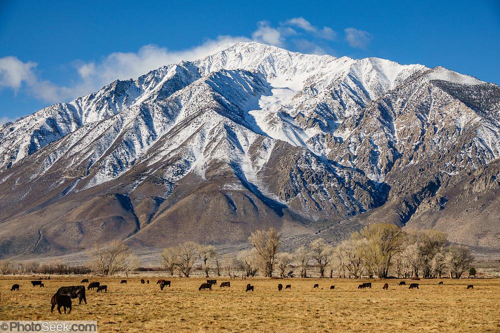 Cattle graze under snowy Sierra Nevada mountains, early spring 2021. Round Valley, near Bishop, California, USA.