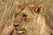 Female Lion or lioness in tall grass in the Ngorongoro Crater, Tanzania