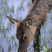 Elk, (Cervus elaphus) cow grazing on new grass shoots in flooded meadow from mountain spring runoff. Spring.