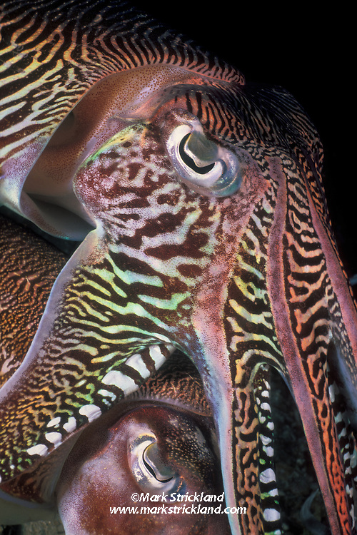 A male Pharaoh Cuttlefish, Sepia pharaonis, maintains close contact with a female, below, to deny competing males an opportunity to mate with her. During such courtship rivalries, males display spectacular, rapidly changing color patterns, probably meant to intimidate their rivals. Richelieu Rock, Thailand, Andaman Sea, Indian Ocean