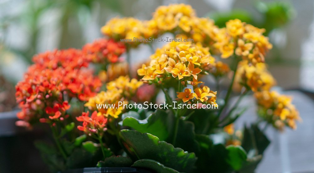 Potted Kalanchoe flowers (Kalanchoe blossfeldiana). Photographed in Israel in April. Commonly cultivated house plant of the genus Kalanchoe native to Madagascar. It is known by the English common names flaming Katy, Christmas kalanchoe, florist kalanchoe and Madagascar widow's-thrill.