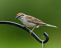 Chipping Sparrow. Image taken with a Nikon D850 camera and 600 mm f/4 VR telephoto lens (ISO 3200, 600 mm, f/5.6, 1/640 sec).