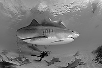 Tiger Shark, Photographer, and Dive Boat, B/W