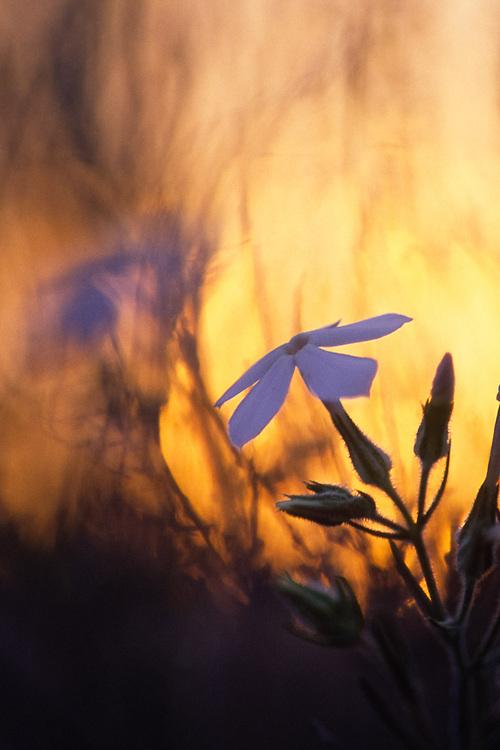 Phlox at sunset, wildflower, Columbia Basin, Washington, USA