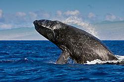 humpback whale, Megaptera novaeangliae, breaching - chin breach with jaw clap, Hawaii, USA, Pacific Ocean