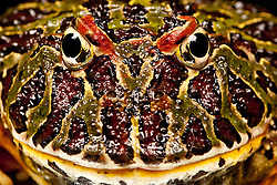 © under license to London News Pictures. 23/09/12. A Argentinian Ornate Horned Frog. Animals appear to pose for their portrait as part of a photo session in Macro photography at Park Farm in the heart of Knowsley Safari Park in Merseyside. Photo credit should read IAN SCHOFIELD/LNP