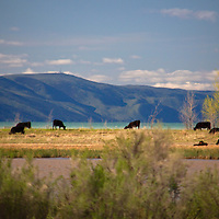 USA, Idaho, Bear Lake. Black cows graze in idyllic setting of Bear Lake, Idaho.