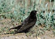 Black Lark, Male - Melanocorypha yeltoniensis