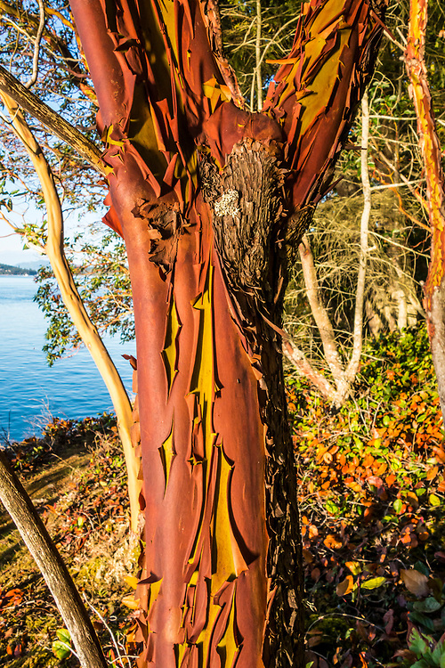 A Madrone tree on Skagit Island with the Salish Sea / Skagit Bay behind, Washington State, USA.