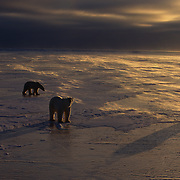Polar bears gathering on frozen ice of Hudson Bay, Canada, during the evening sunset.