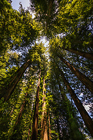 Looking skyward towards the tops of the giant redwood trees along the Rockefeller Loop in the Humbolt Redwoods State Park.