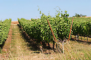 Vines with Lyre style pruning. Chenin Blanc. Agricultural Research Institute (INRA, Institut Nationale de Recherche Agricole) in Angers (Beaucouze), Loire, France
