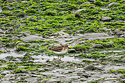 A western sandpiper feeds along the beach at the McNeil River State Game Sanctuary on the Cook Inlet, Alaska. The remote site is accessed only with a special permit and is the world's largest seasonal population of brown bears in their natural environment.