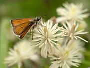 Small Skipper Butterfly, Thymelicus sylvestris, on Traveller's-joy flowers (Clematis vitalba), Kent UK
