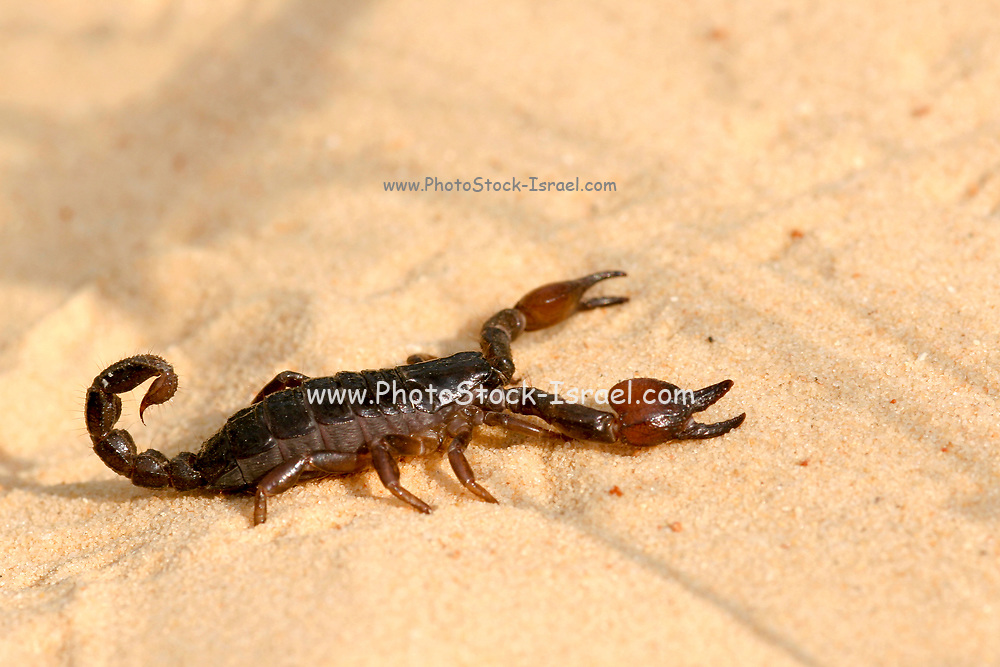 Israeli black scorpion (Scorpio maurus fuscus) on a sand dune Photographed in Israel in Summer September