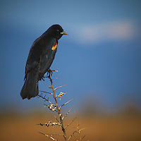 Red Winged Blackbird at the Alamosa National Wildlife Refuge in Early Spring. Image taken with a Nikon D300 and 80-400 mm VR lens (ISO 200, 400 mm, f/8, 1/1000 sec).