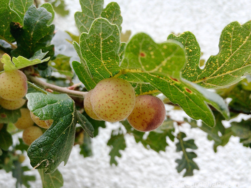 apple gall oak Insects, bugs, and arachnids among other invertebrates in southern BC and Vancouver Island in the Pacific North-West.