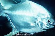 permit, Trachinotus falcatus, Florida, ( Western Atlantic Ocean )