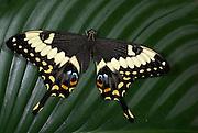 Swallowtail Butterfly, Papilio ophidocephalus, wings open, eye spots, tail