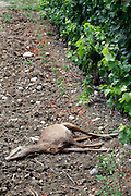 dead deer in a vineyard
