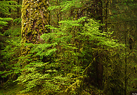Old growth in the Sol Duc Rainforest in Olympic National Park, Washington