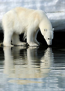 Polar Bear, Ursus maritimus, looking at its reflection in the water, Svalbard, Norway