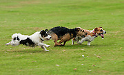 Terriers racing at a dog show, Bowood, Wiltshire, United Kingdom RESERVED USE - NOT FOR DOWNLOAD -  FOR USE CONTACT TIM GRAHAM