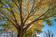 Backlit Cottonwood tree in fall, Big Pine, Inyo County, Eastern Sierra, California