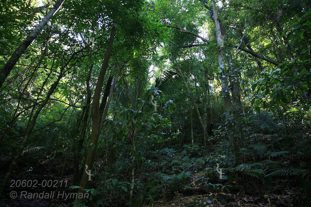 Tropical rainforest trees loom skyward in Manuel Antonio National Park; Costa Rica.