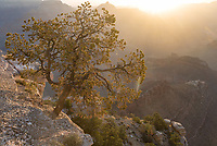 A pinyon pine clings to the edge of the Grand Canyon rim, illuminated by morning sunlight.