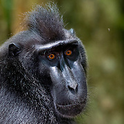 Close up of the Crested Black Macaques (Macaca nigra)  in Tangkoko Nature Reserve, northern Sulawesi, Indonesia.