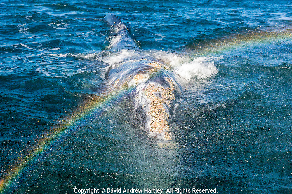 Spray from the spout of a California Gray Whale (Eschrichtius robustus) forms a rainbow, Scammon's Lagoon, Guerrero Negro, Baja California Sur, Mexico