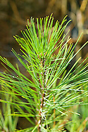 close up of pine needles on a Southern Pine tree in Arkansas