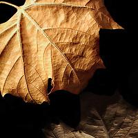 Photograph of a leaf on black plexi glass.