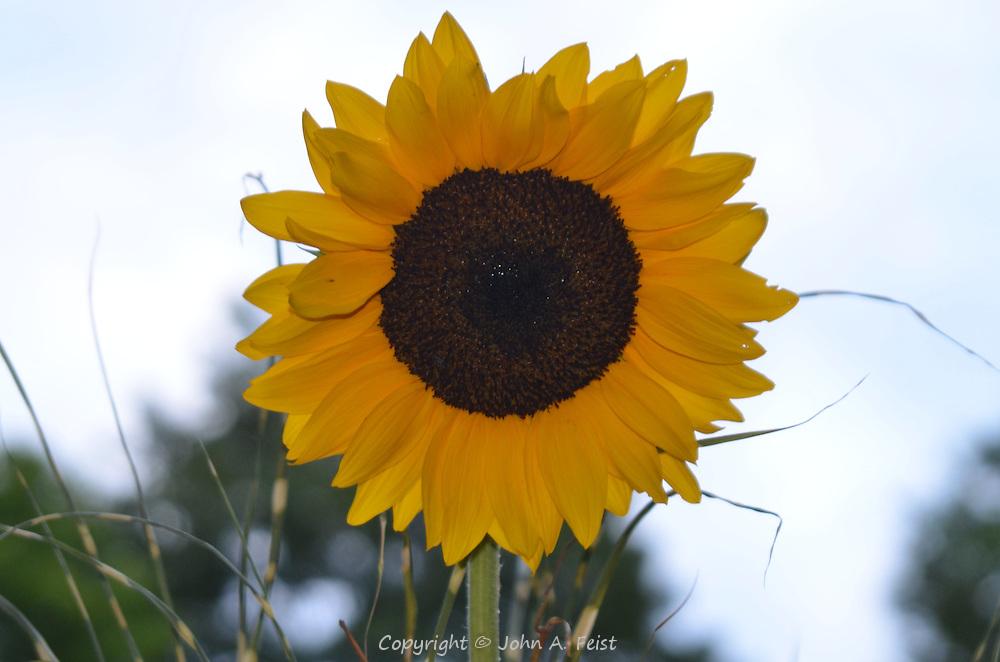 A big beautiful sunflower ready to say good night.  Omega Institute, Rhinebeck, NY
