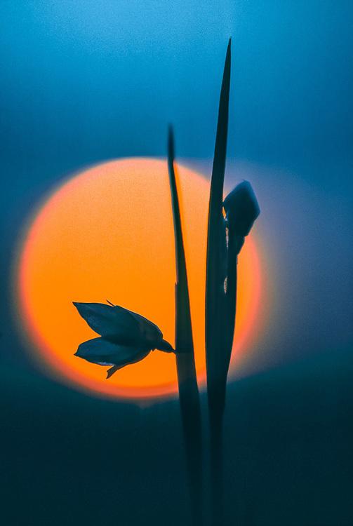 Harebell wildflower (Campanula rotundifolia), sunset, Olympic National Park, Washington, USA