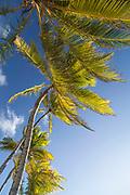 Low angle view of palm trees, Little Corn Island, Nicaragua.