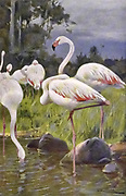 Flamingo (Phoenicopterus roseus) from the book '  Animal portraiture ' by Richard Lydekker, and illustrated by Wilhelm Kuhnert, Published in London by Frederick Warne & Co. in 1912