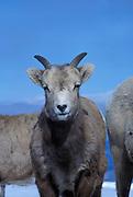 A juvenile bighorn sheep(Ovis canadensis canadensis) portrait. Lostine Ridge, Wallowa Mountains, Oregon.