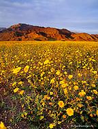 Vast Field of Desert Gold Wildflowers in Death Valley National Park in California