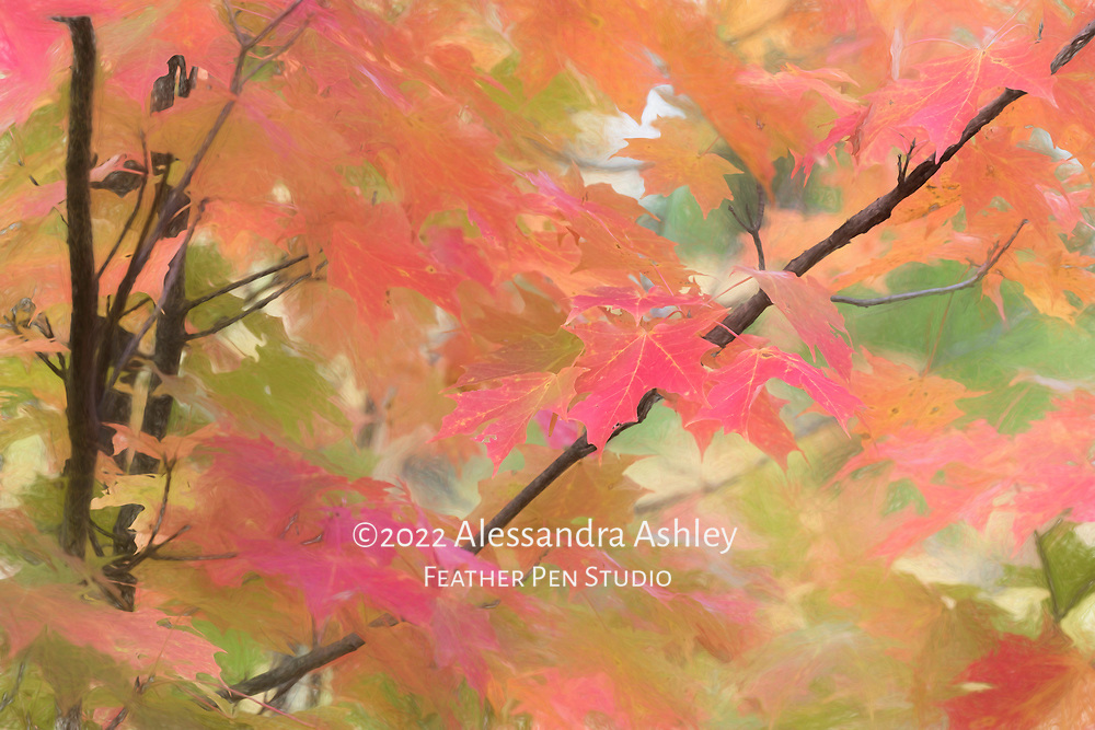 Foliage of red maple tree at peak autumn color in garden setting. Colored pencil effects blended with original photograph.