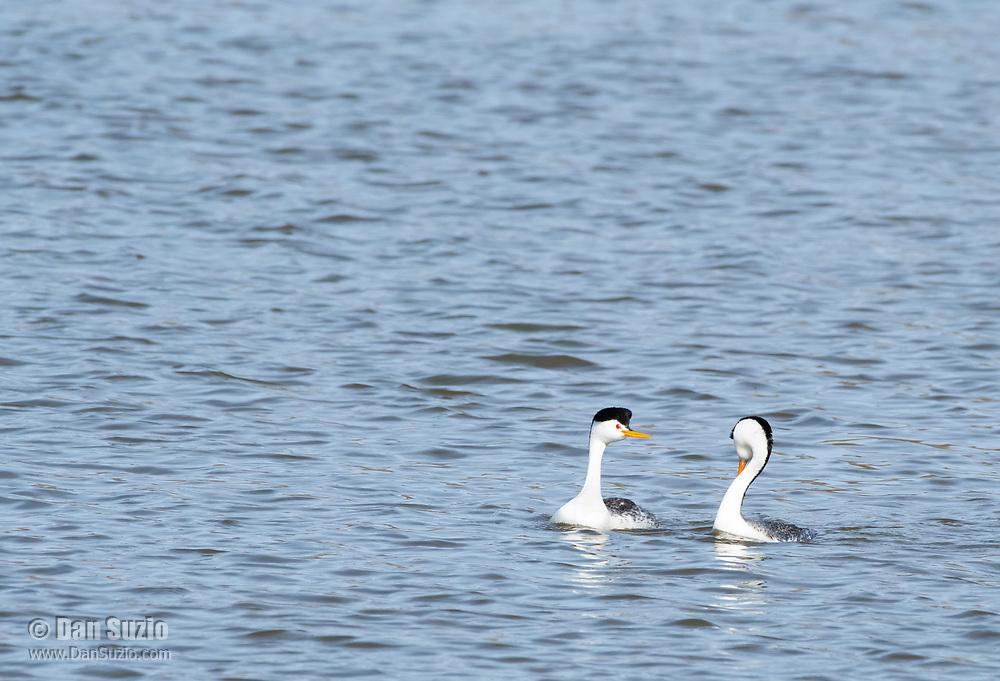 A pair of Clark's Grebes, Aechmophorus clarkii, performs a mating dance on Upper Klamath Lake, OregonUpper Klamath Lake, Oregon