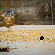 As the villagers' backs are turned, two birds tuck into a feast of grains. Koumbadiouma in Kolda, Senegal.