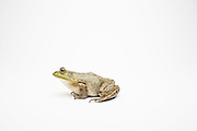 A young female American bullfrog (Lithobates catesbeianus) - an invasive species in the western North America.