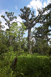 04 June 2015. Jean Lafitte National Historic Park, Louisiana.<br /> Cypress and other trees and shrubs in the swamp at the Barataria Preserve wetlands south or New Orleans. <br /> Photo©; Charlie Varley/varleypix.com