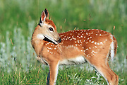 Whitetailed Deer fawns in habitat