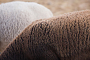 Detail of the wool on the back of sheep at Windsor Dairy in Windsor, Colorado. The dairy producer supplies their shareholders with raw milk and other dairy products, grass-fed beef and lamb and true free-range chicken eggs.